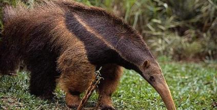 oso-hormiguero3