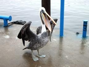 Perui szürke pelikán